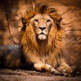 Lion Image stock