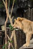 Lion.01 库存照片