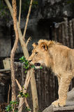 Lion.01 Fotografia Stock