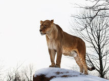 Lion. The lion is standing on the top of rock stock images