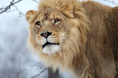 Lion. The male lion is staring something royalty free stock images