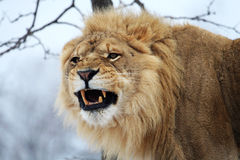 Lion. The male lion is roaring royalty free stock photography