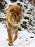 Lion. The male lion is walking out of its home stock photo