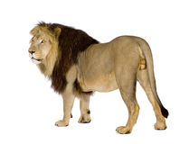 Lion (4 et une moitié d'ans) - Panthera Lion Images stock