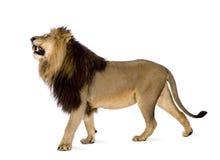 Lion (4 et une moitié d'ans) - Panthera Lion Photographie stock