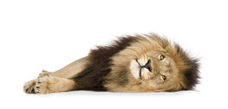 Lion (4 and a half years) - Panthera leo Stock Image