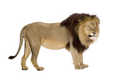Lion (4 and a half years) - Panthera leo Stock Images