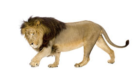 Lion (4 and a half years) - Panthera leo Stock Photography