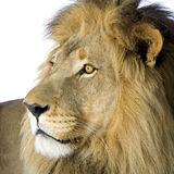 Lion (4 and a half years) - Panthera leo Royalty Free Stock Photography