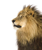 Lion (4 and a half years) - Panthera leo Royalty Free Stock Image