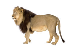 Lion (4 and a half years) - Panthera leo Royalty Free Stock Photo