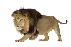 Lion (4 and a half years) - Panthera leo Stock Photos
