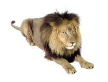 Lion (4 and a half years) - Panthera leo Royalty Free Stock Photos