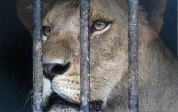 Free Lion Stock Images - 40157644