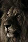 Lion. Portrait of a Male Lion Stock Photography