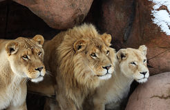 Lion. The three lions are looking for food royalty free stock photography