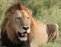 Lion Image libre de droits