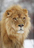 Lion. This lion is waiting for something royalty free stock photography