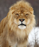 Lion. This male lion is staring at me looks so blue royalty free stock photos
