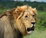 Lion. A male lion (Panthera leo) in the Kruger Park, South Africa Royalty Free Stock Photo
