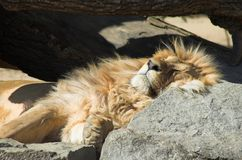 Lion. King sleeping on the stone Stock Photography