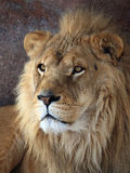 Lion. This male lion is sitting in front of his cave looks seriously royalty free stock photography