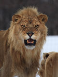 Lion. This male lion is roaring at me Stock Photo
