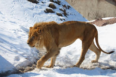 Lion. This lion is walking toward to feeder stock image