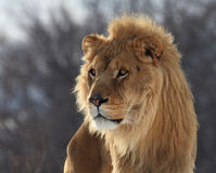 Lion. This male lion is waiting for somebody royalty free stock photo