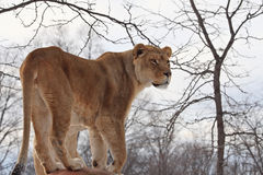 Lion. The female lion is looking far away royalty free stock photography