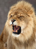 Lion. The male lion is roaring royalty free stock photos