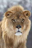 Lion. This male lion is staring at feeder and waiting for his dinner royalty free stock photos