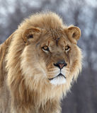 Lion. This male lion is staring at something,looks so formidable stock images