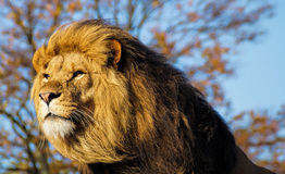 Free Lion Royalty Free Stock Photo - 46564775