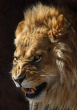 Lion. This male lion looks so anger stock photography