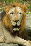 Lion. In the zoo royalty free stock images