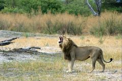 Lion. Is talking to his brother - South Africa Stock Image