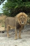Lion. Watching the photographer - South Africa Royalty Free Stock Photography