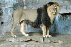 Free Lion Stock Photos - 49462683