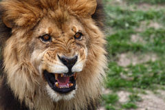 Lion. The lion is roaring looks angry Royalty Free Stock Photo