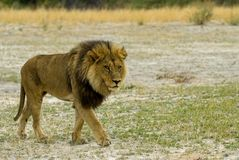 Lion. Big lion boy - South Africa Royalty Free Stock Photography