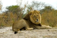 Lion. Big lion boy - South Africa Stock Photography