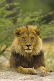 Lion. Big lion boy - South Africa Royalty Free Stock Images