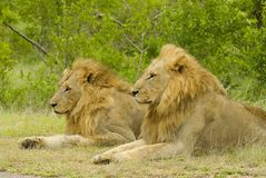 Lion. Two big lion boys - South Africa Royalty Free Stock Photo