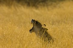 Lion. S head in the grass - South Africa Royalty Free Stock Image