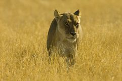 Lion. S walking in the grass - South Africa Stock Photography