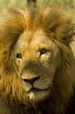 Lion Photos stock