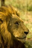 Lion. Big lion boys head - South Africa Royalty Free Stock Image