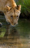 Lion. A young lion comes to a waterhole Stock Images