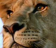 Lion. Close up of the face of an african lion Royalty Free Stock Photography